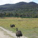 Emus at Mount Peter